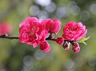 桃花图片唯美春天风景