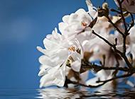 淡雅清新的白色玉兰花图片欣赏