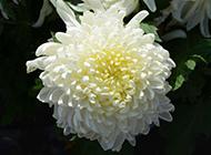 白色菊花图片唯美特写