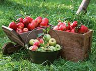 果园里新鲜采摘的苹果图片