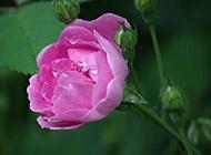开紫红色花的植物图片高清壁纸