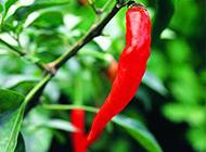 成熟的红辣椒图片