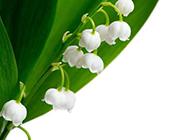 幽雅清丽的铃兰花图片