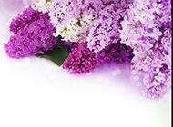 淡紫色风信子浪漫花卉美图