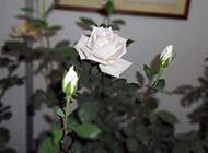 含苞待放的白色月季花图片