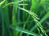 一根稻麦的绿色背景图片素材
