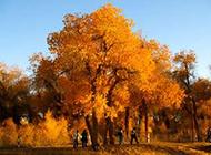 萧瑟伤感秋天的银杏树图片