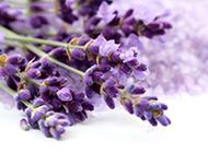 唯美紫色的花图片薰衣草背景