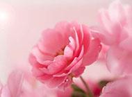 淡粉色精致花朵背景图片