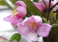 桃花粉红背景图片特写大全