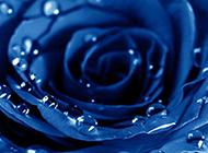 蓝色玫瑰花与水滴图片