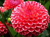 雍容华贵的大红牡丹花图片