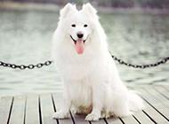 纯种萨摩耶犬卖萌图片精选