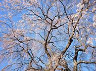 倾力开放的樱花图片