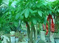 发财树绿色护眼辩子图片