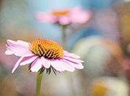 展露芳颜的粉色野菊花图片