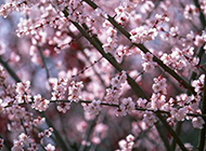 娇媚粉桃花簇拥枝头 唯美桃花图片