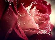 玫瑰花图片唯美清新背景推荐