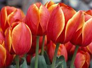荷兰郁金香图片素材欣赏