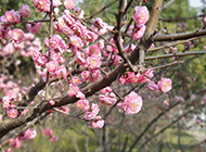 满树盛开的梅花图片