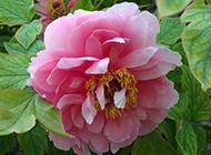 争艳娇嫩的粉牡丹花图片