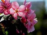 鲜艳夺目的海棠花摄影图片