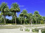 棕榈树高清图片遮阳蔽日