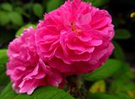 美丽鲜艳的蔷薇花图片