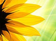 向日葵花高清鲜花背景图片特写