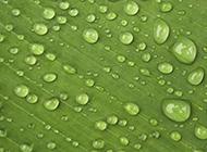 绿叶上的水珠微距摄影