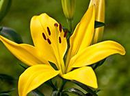 黄色百合花盛开图片