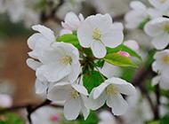 美丽温和的白色海棠花图片