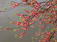 早春娇媚迷人的红梅花图片