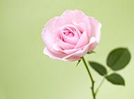 清新粉色玫瑰浪漫自然风景写真