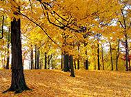 秋天的枫树植物图片唯美壁纸