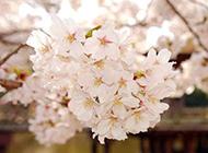日本樱花漂亮绽放图片