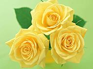 玫瑰花图片素材高清特写