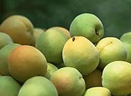 新鲜采摘的水果杏子图片