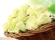 清新淡雅的白玫瑰花图片大全大图