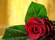 一枝红玫瑰花高清大图