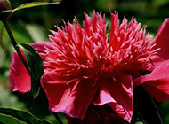 美丽名贵的红色芍药花图片