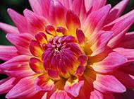 美不胜收的粉红菊花图片