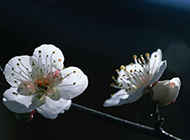 纯净素雅白色桃花唯美风景图片