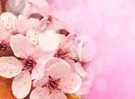 唯美清新粉色樱花背景素材