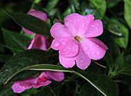 雨后的夹竹桃图片