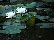 纯白睡莲唯美图片