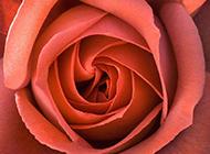 红玫瑰花图片唯美高清背景素材