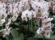 斑点蝴蝶兰花海图片