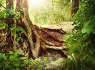 刺眼阳光下的大树图片