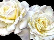 逼真油画白色玫瑰花大图